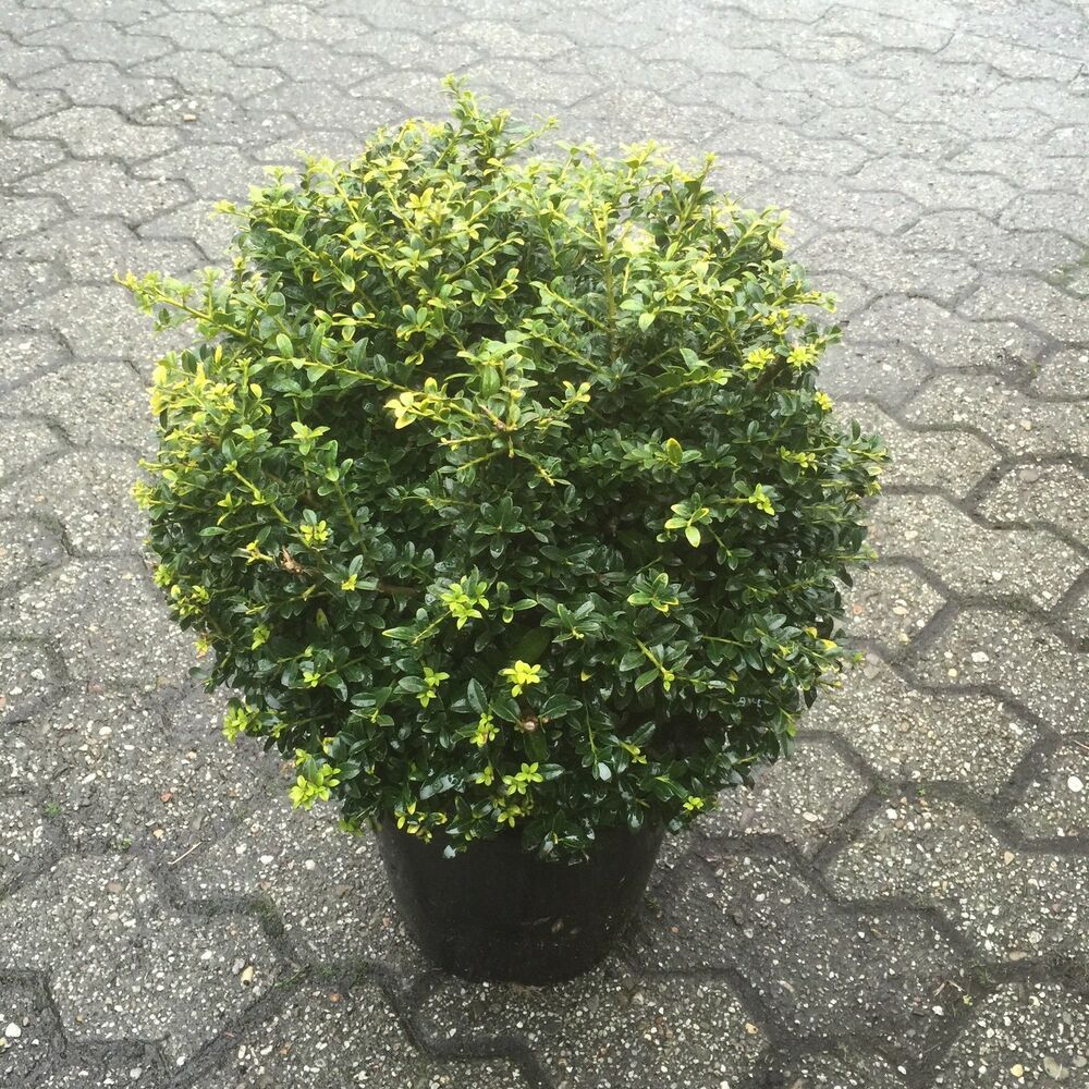 1 x ilex crenata 39 stokes kugel 25 35 cm berg ilex buxbaum buxus buchs ersatz ebay. Black Bedroom Furniture Sets. Home Design Ideas