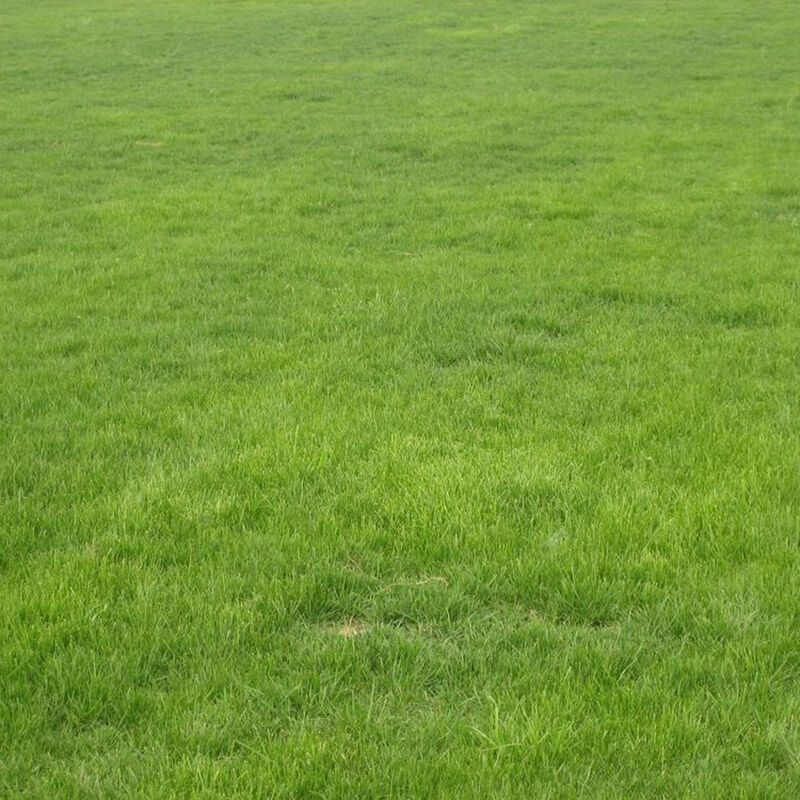 10000pcs tall fescue grass seed festuca arundinacea lawn for Tall outdoor grasses