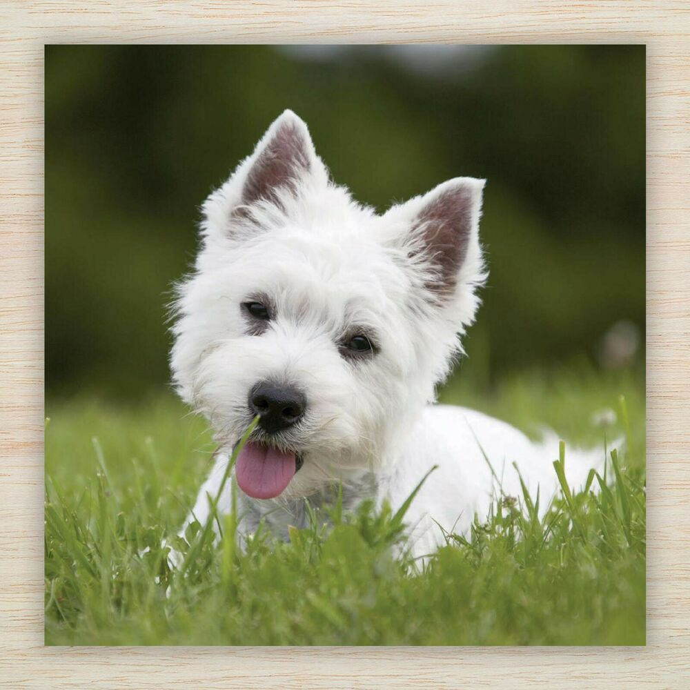 Birthday greetings blank card west highland terrier westie puppy dog freepost ebay - Pictures of westie dogs ...