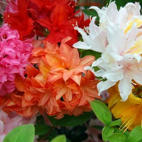 3 X Mixed Azaleas Dwarf Japanese Shrubs Colourful Potted