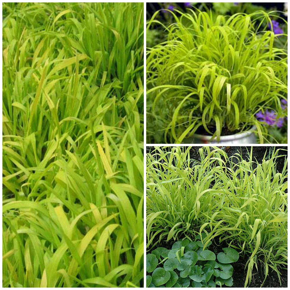 Millium effusum aureum ornamental grass border patio for Tall grass border