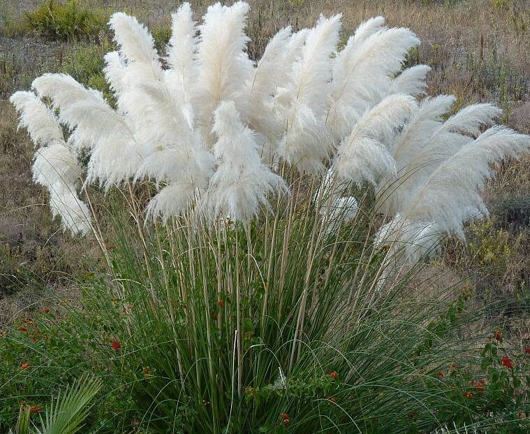 600 pampas seeds white ornamental grass seeds cortaderia selloana white plant ebay. Black Bedroom Furniture Sets. Home Design Ideas