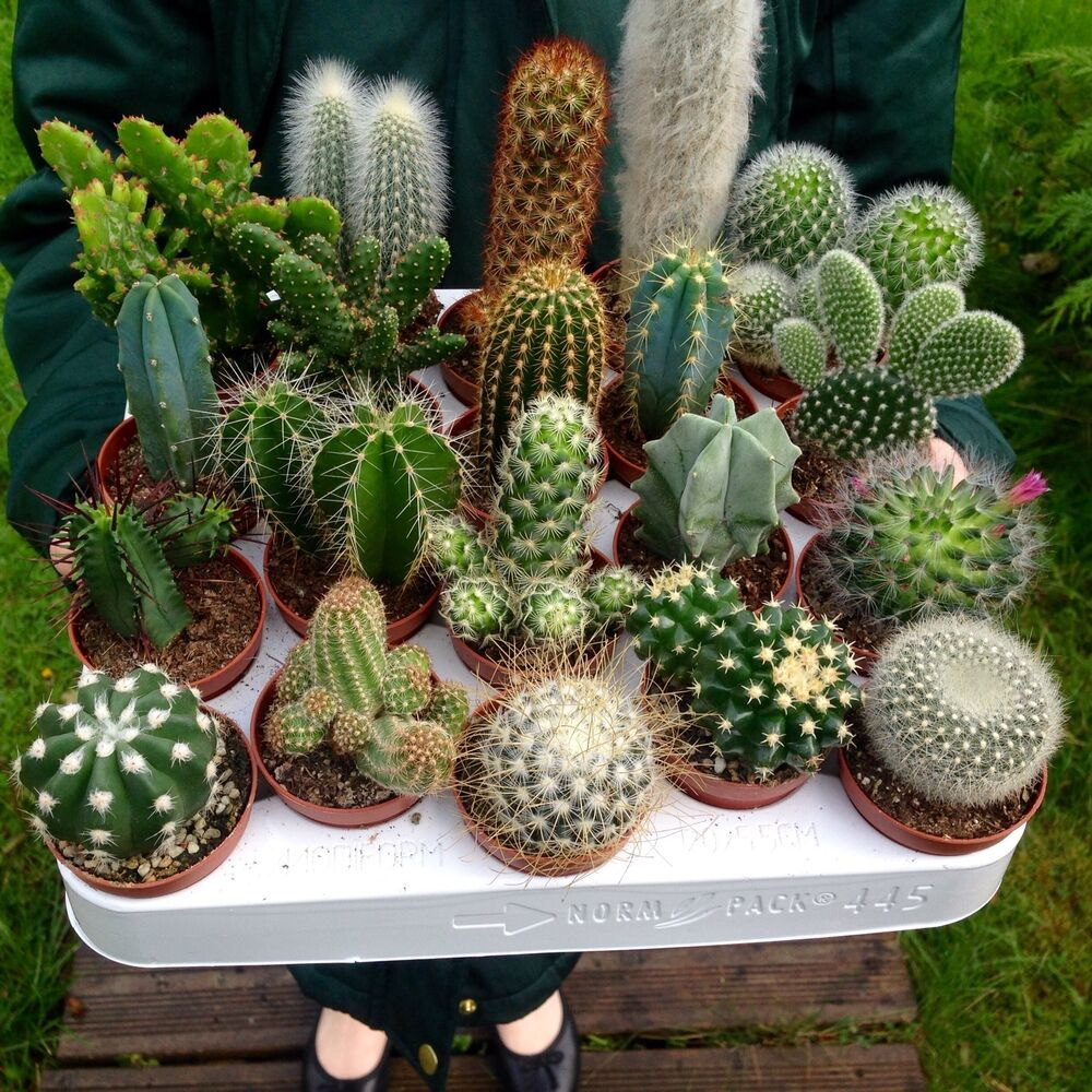 Set of 10 mixed cactus plants in 6cm pots house plants ebay - Home plants types ...