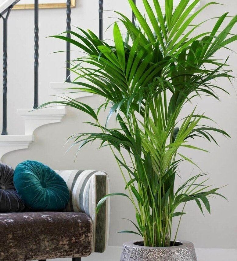 kentia palm howea forteriana popular indoor house plant in. Black Bedroom Furniture Sets. Home Design Ideas