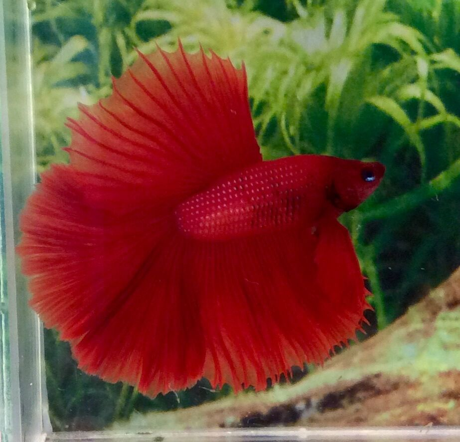 Thai Import Fancy Full Red Male HM Halfmoon Betta ... - photo#21