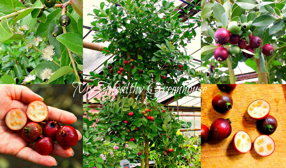 seeds dwarf cattley guava psidium littorale indoor outdoor container tree ebay. Black Bedroom Furniture Sets. Home Design Ideas