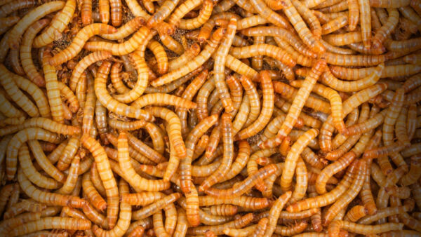 1000 - Live Mealworms