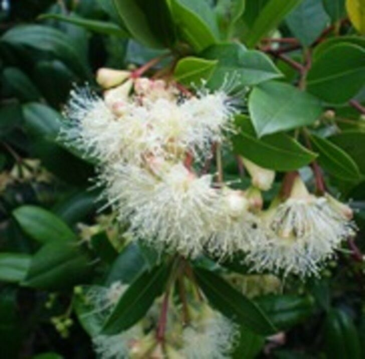Elite lilly pilly syzygium australe native dense hedging for Lilly pilly shrub