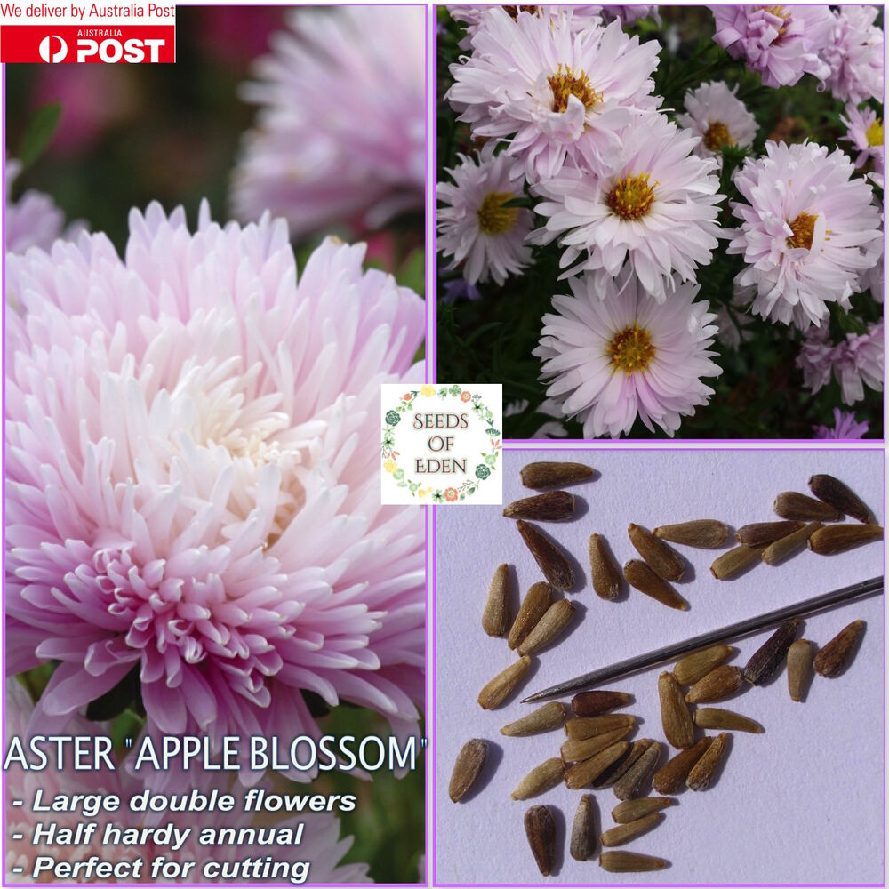 25 Aster Kingsize Appleblossom Seedscallistephus Chinesis Ideal