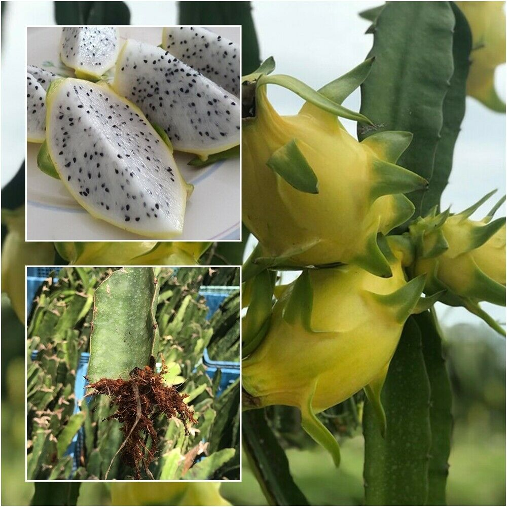 Growing Dragon Fruit Tree: Hylocereus Megalanthus 1 Rooted Yellow Dragon Fruit