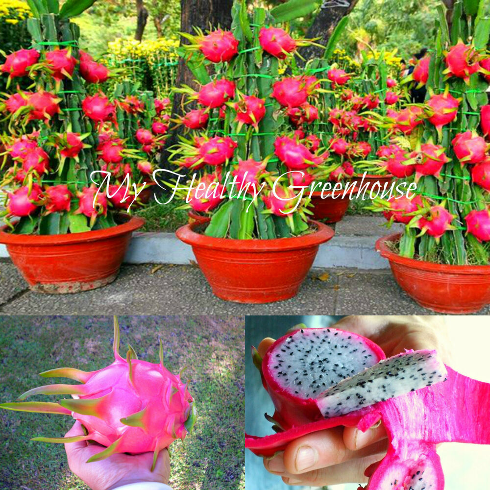 Growing Dragon Fruit Tree: Dwarf Pearl Pitaya Dragon Fruit Hylocereux Undatus