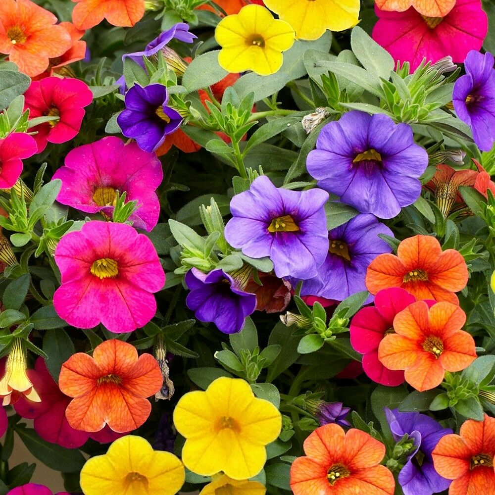 6 trailing calibrachoa million bells mixed collection basket patio plug plants ebay. Black Bedroom Furniture Sets. Home Design Ideas