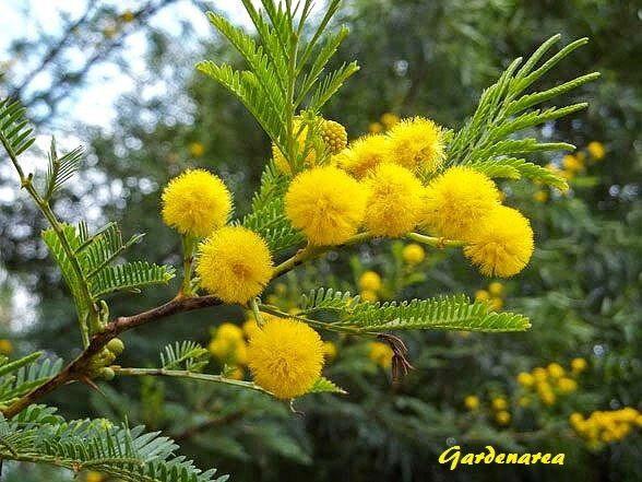 1000 Graines de  Mimosa d'hiver 'Acacia dealbata' Silver wattle tree seeds