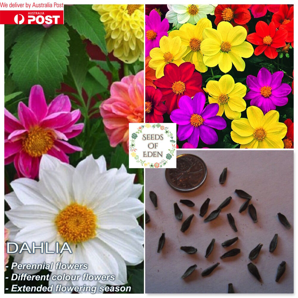10 Dahlia Seedsdahlia Variabilis Unwins Bedding Mix Ideal For