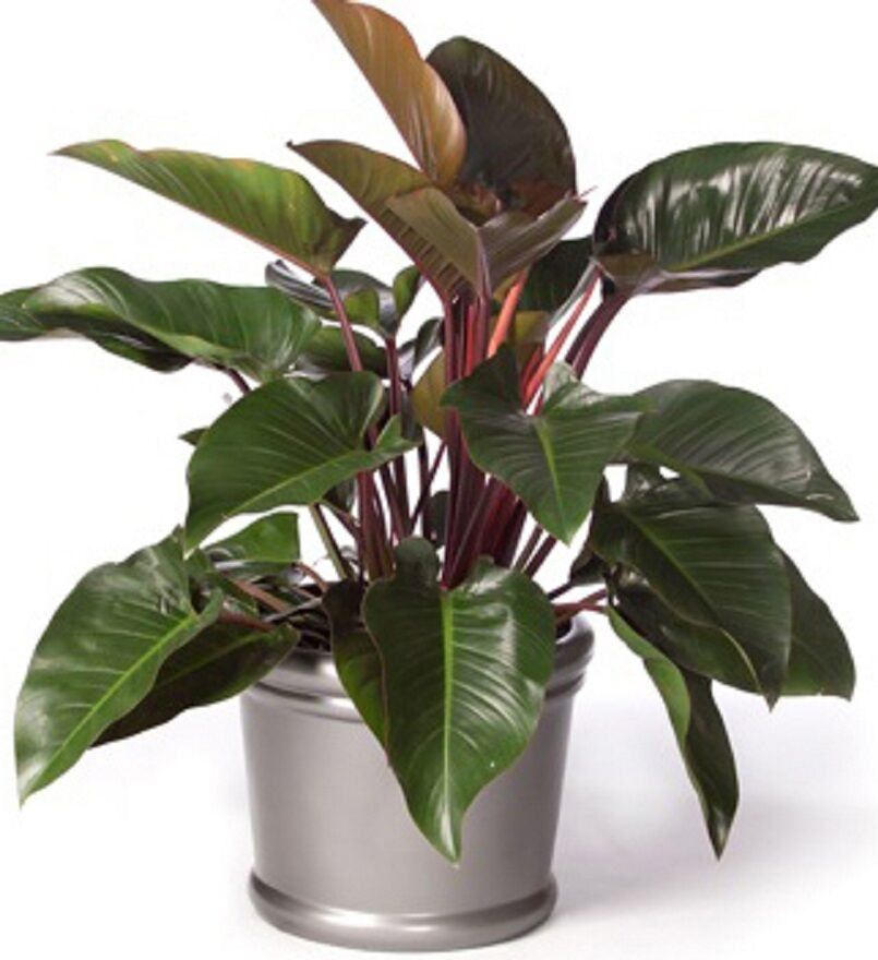 Rojo Congo Philodendron Red Tropical Indoor House Plant In