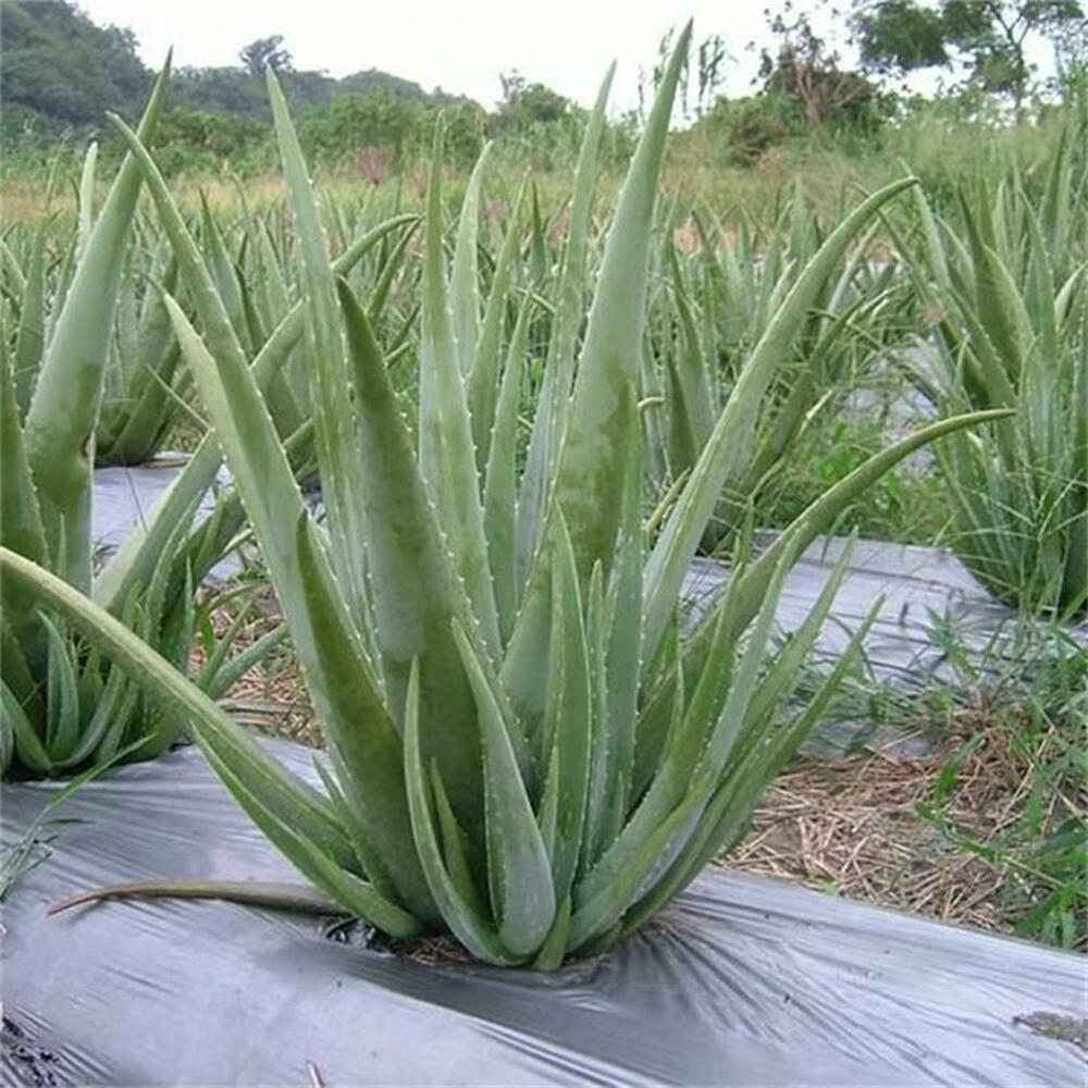 100 seeds aloe vera seeds edible succulent plant rare herbal medicinal vegetable ebay. Black Bedroom Furniture Sets. Home Design Ideas