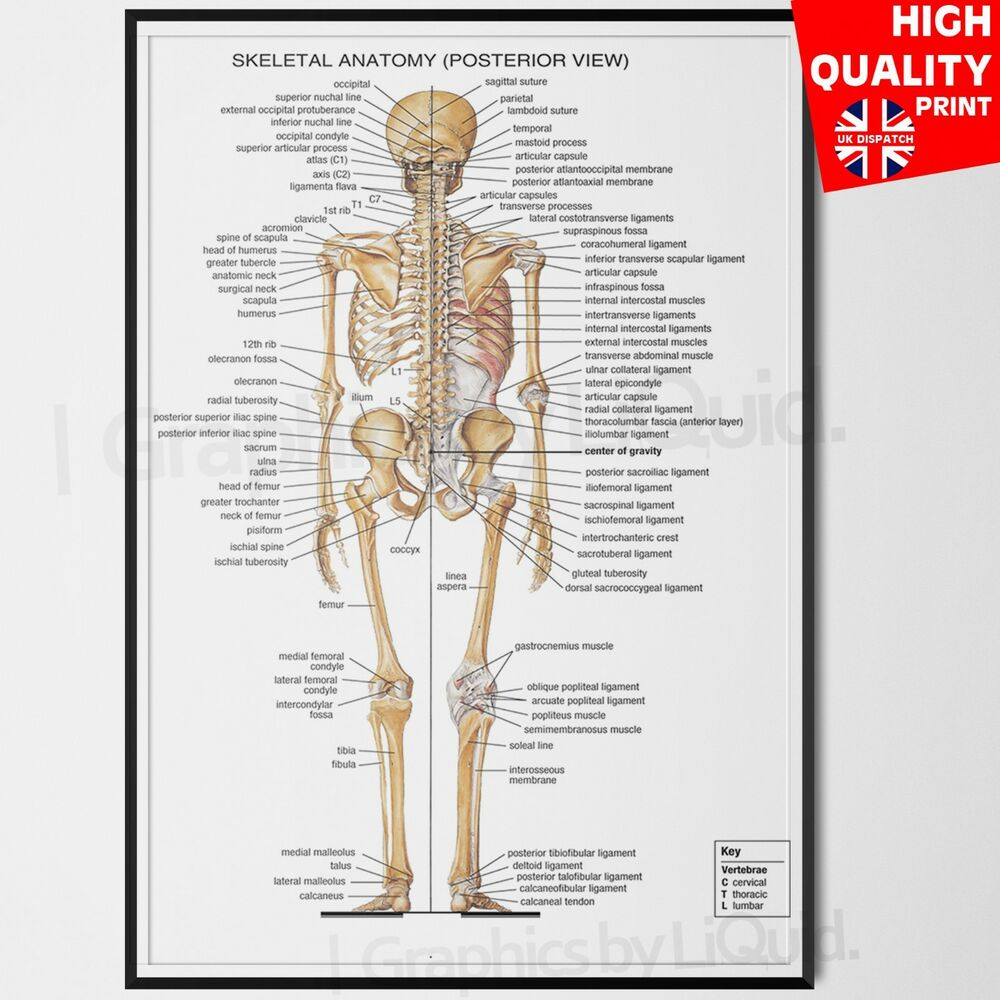 The Human Body Anatomy Skeletal System Back Poster A4 A3 A2 A1