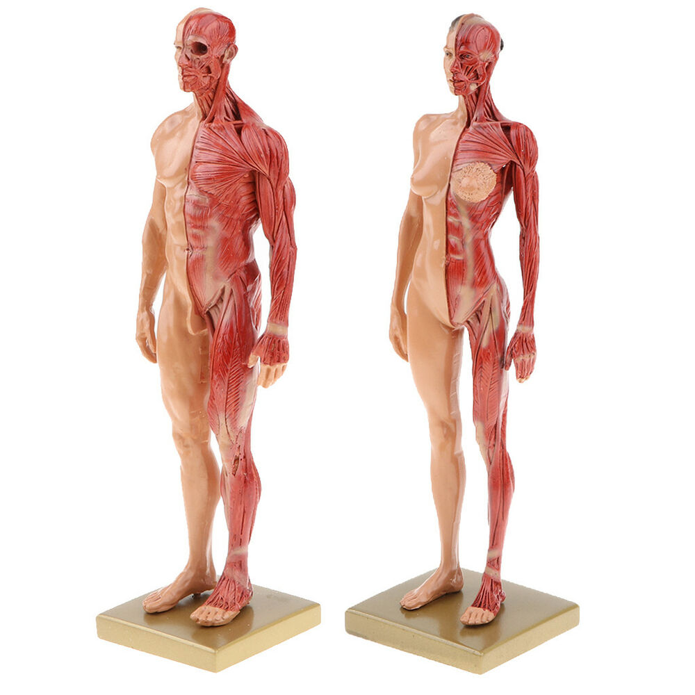 11 Male Female Muscle Skeleton Anatomy Model Human Anatomy Model