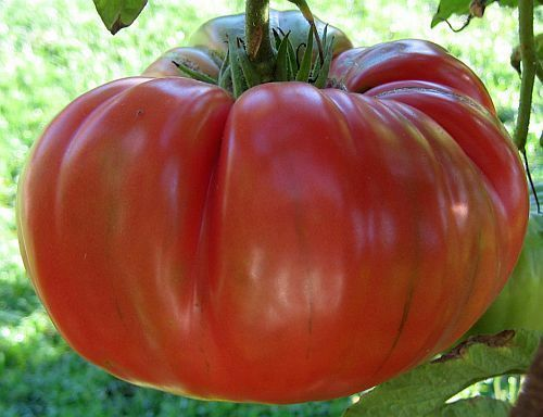 30 RED BRANDYWINE TOMATO SEEDS 2019 ( NON-GMO FREE SHIPPING! )