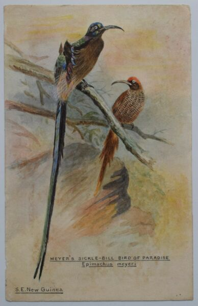 Australasia Watercolour Birds Of Paradise Meyers Sicklebill S.E New Guinea 1907