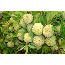 Kyпить Sugar Apple Na Dai ( Mãng Cầu Dai)Seed 1 Year Old-1 Live Fresh & Organic Tree на еВаy.соm