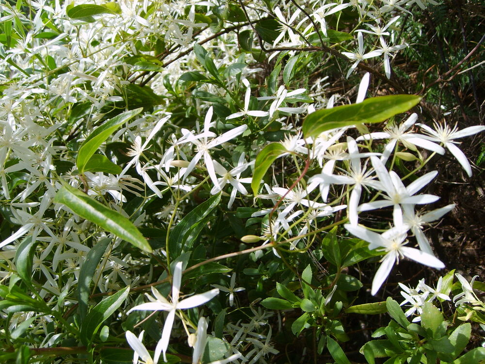 Old Mans Beard Seed Native Climber Clematis White Flowers Shade