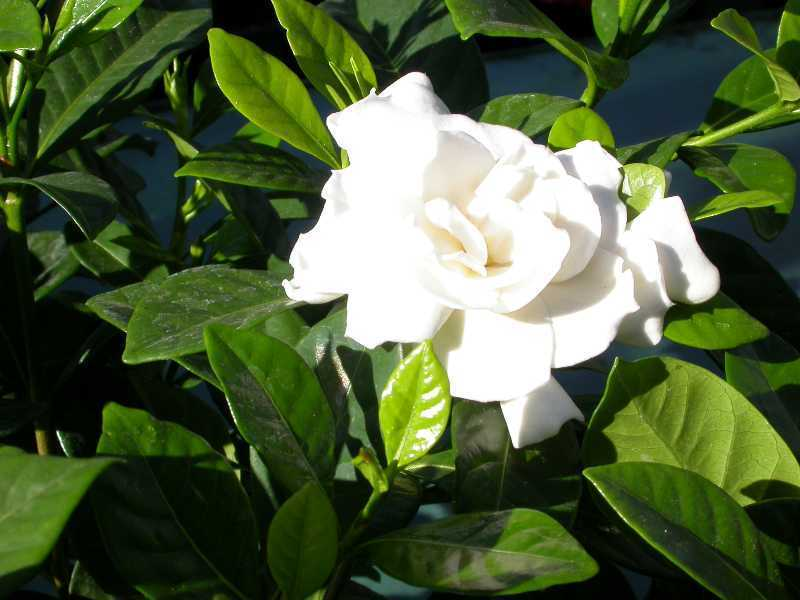 Cape Jasmine Gardenia Jasminoides Shrub Seeds Fragrant