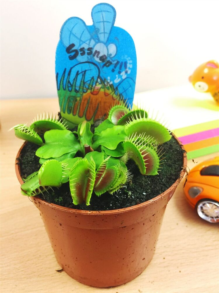 1 VENUS FLY TRAP INSECT KILLER CARNIVOROUS PLANT IN 9CM