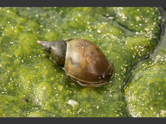 Great pond snail algae eating lymnaea stagnalis ebay for Algae eating fish for ponds