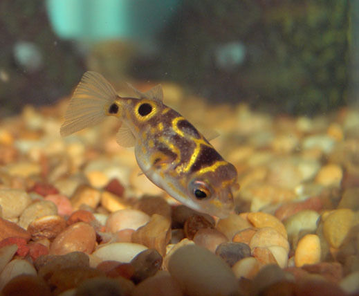 Figure Eight Puffer Fish Tetraodon Biocellatus Ebay