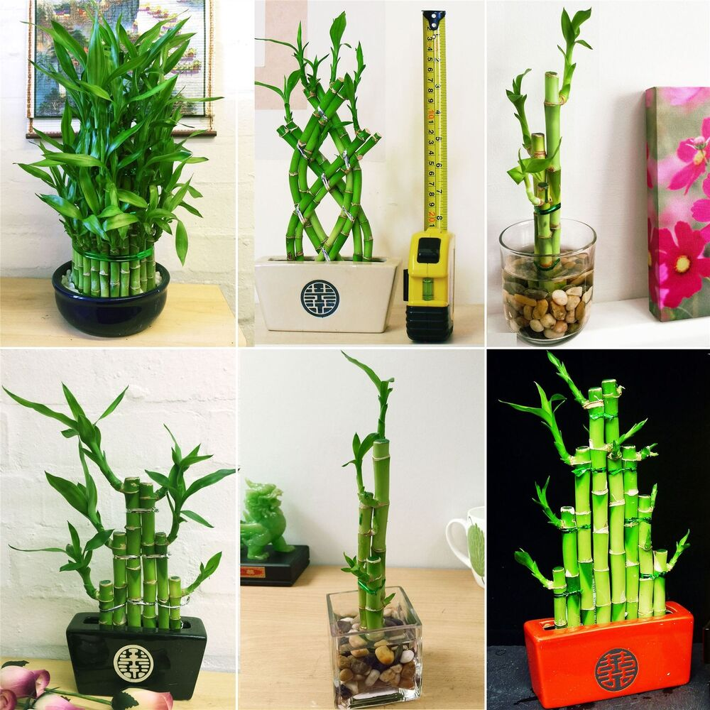 how to grow bamboo in pots uk