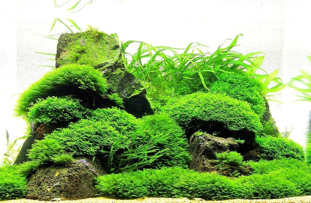 Live Aquarium Plants Moss On Mesh Easy Eu Grown High