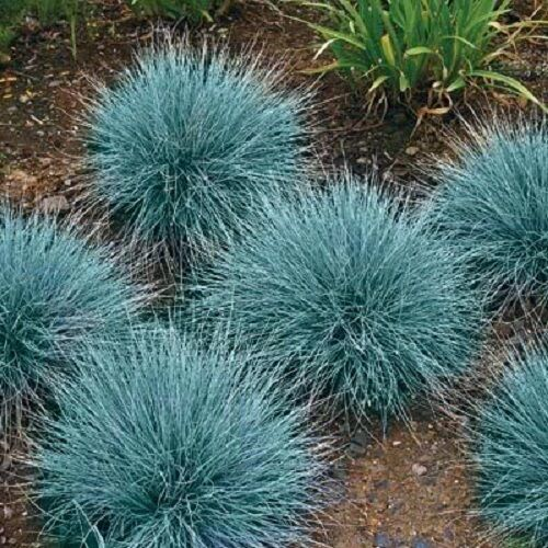 100 blue fescue fesnea glauca ornamental grass seeds ebay for Small ornamental grasses
