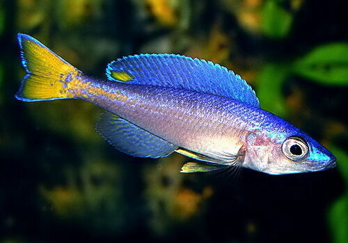 Cyprichromis leptosoma mpulungu established lake for Lake tanganyika fish