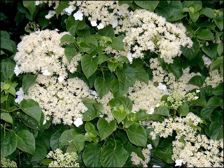 climbing hydrangea hydrangea anomala petiolaris seeds. Black Bedroom Furniture Sets. Home Design Ideas