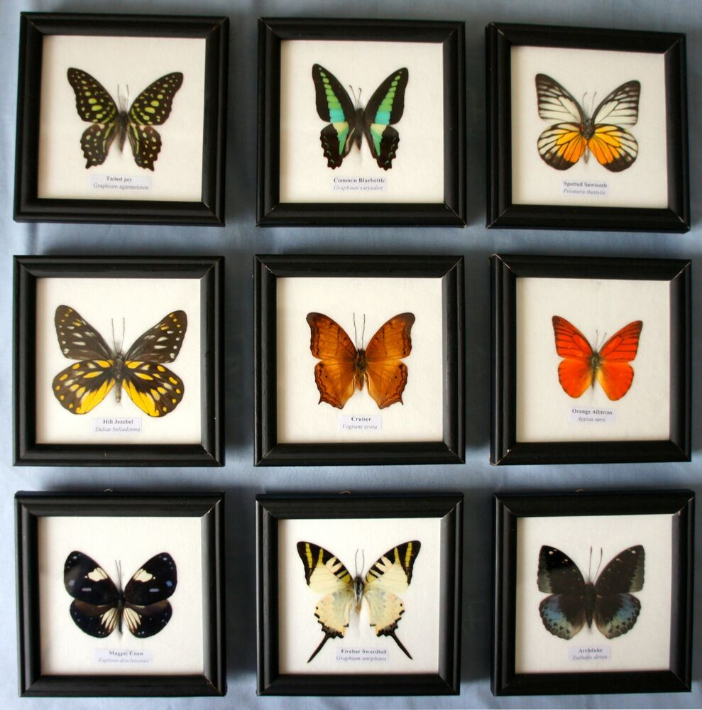 framed butterfly genuine specimen set in picture frame taxidermy insect uk
