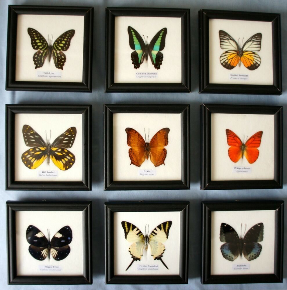 FRAMED BUTTERFLY - GENUINE SPECIMEN SET IN PICTURE FRAME - TAXIDERMY ...