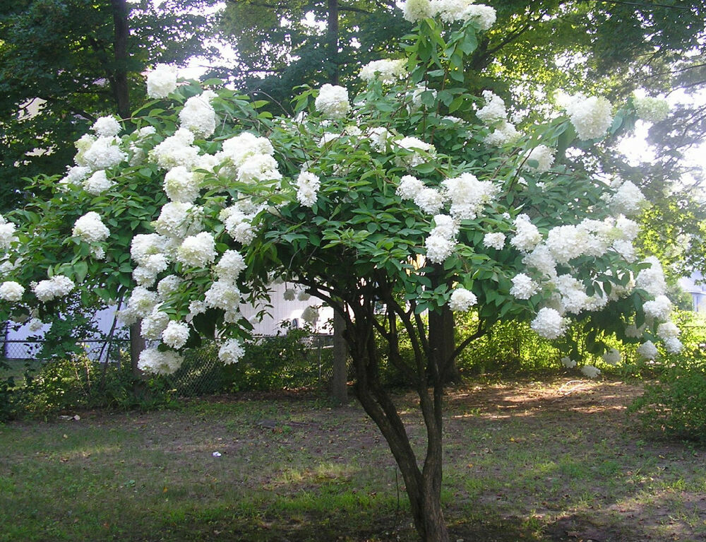 20*** WHITE HYDRANGEA TREE**SEEDS***HUGE WHITE BLOOMS*****FLOWERING TREE : eBay