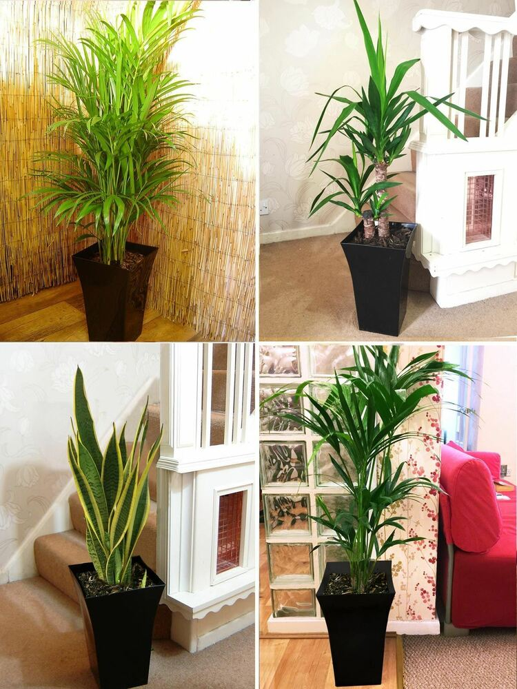 1 large indoor office house tree milano gloss pot palm