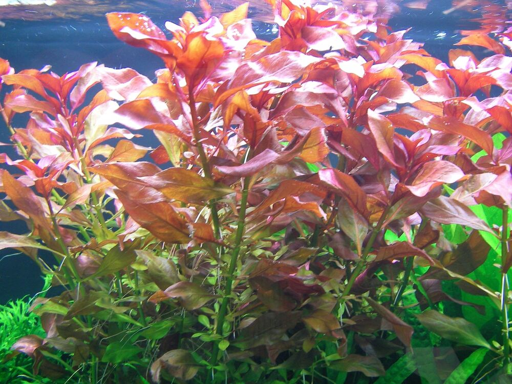 1touffe de ludwigia repens rubin red plante aquarium nano crevette poisson ebay. Black Bedroom Furniture Sets. Home Design Ideas