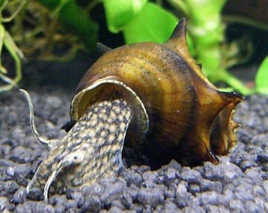 Pagoda snail brotia pagodula rare algae eating ebay for Snails in fish tank