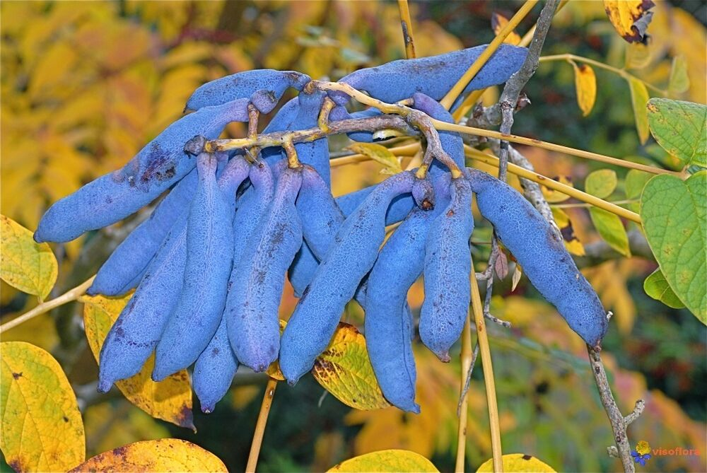 blue sausage fruit decaisnea fargesii shrub seeds fast. Black Bedroom Furniture Sets. Home Design Ideas