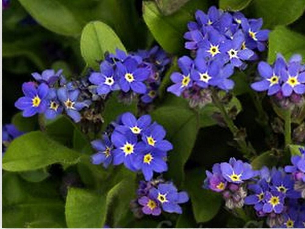 forget me not seeds myosotis sylvatica cv indigo blue. Black Bedroom Furniture Sets. Home Design Ideas