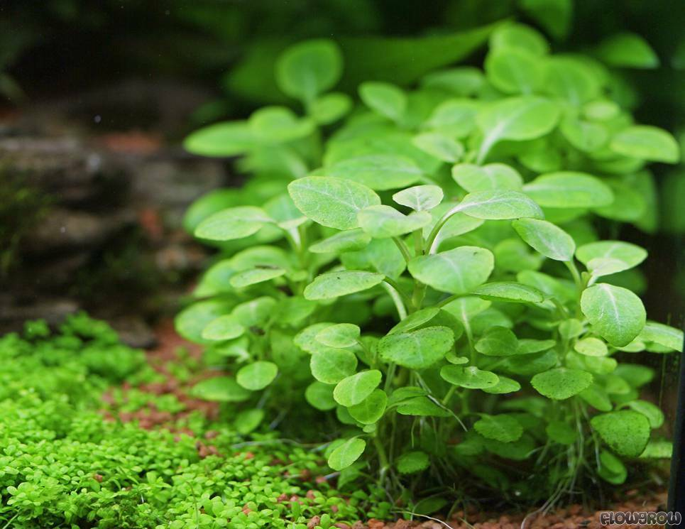 Lobelia cardinalis easy live aquarium plants java moss for Easy pond plants