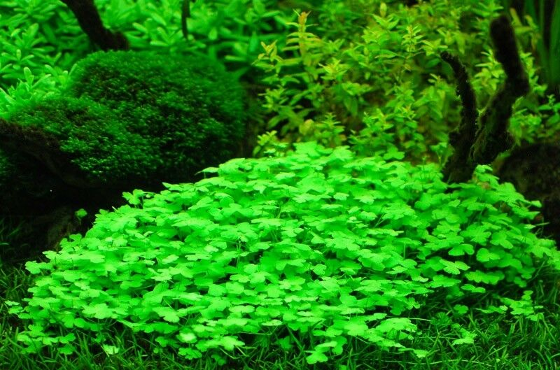 Hydrocotyle Tripartita Japan Freshwater Live Aquarium