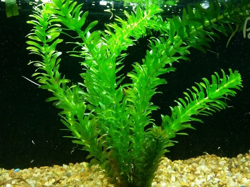 Anacharis elodea egeria densa ada easy live fish aquarium for Easy pond plants