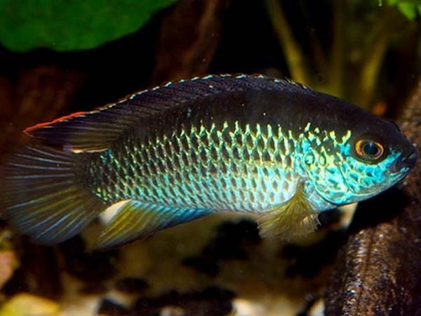 how to tell male cichlids from female