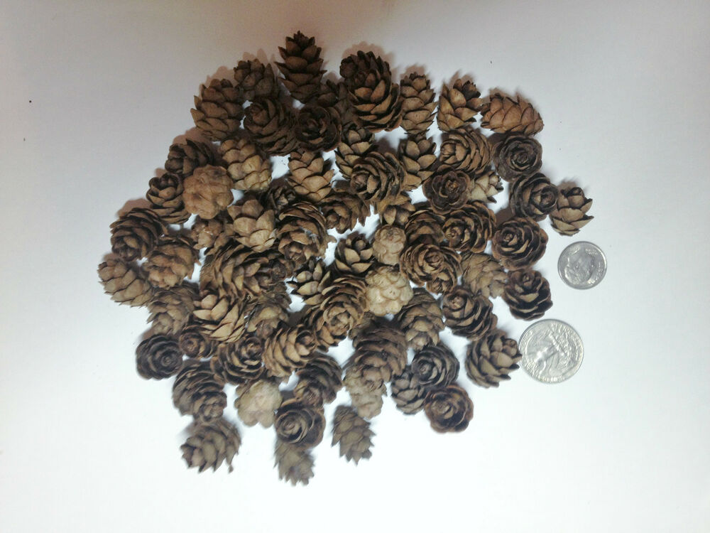 100 mini small real hemlock pine cones crafts organic hand for Small pine cone crafts