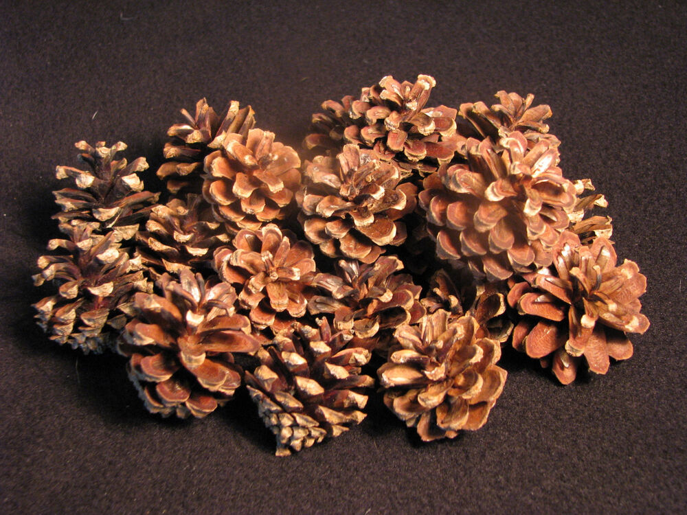 25 small real scotch pine cones excellent for arts for Small pine cone crafts