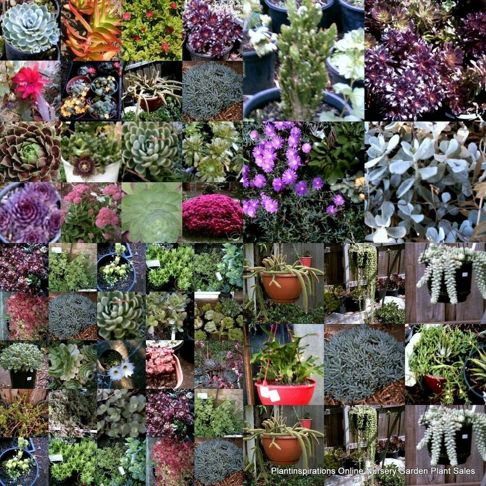 50 Succulent Cuttings 25 Types + 50 Pots Drought Hardy